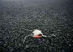 <p>Cadáver de un flamenco en un acuífero desecado.</p>