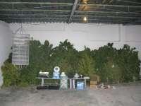 Detenido en Ontur (Albacete) en posesión de 31 plantas de marihuana