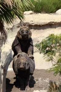 Terra Natura analiza las heces de un rinoceronte hembra para comprobar si está embarazada