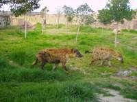 Expertos de Terra Natura de Murcia trabajan con una de las hienas del parque ante su temor a salir a la pradera exterior