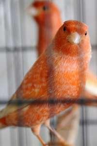Una muestra exhibe 2.100 canarios y pájaros exóticos en Tenerife