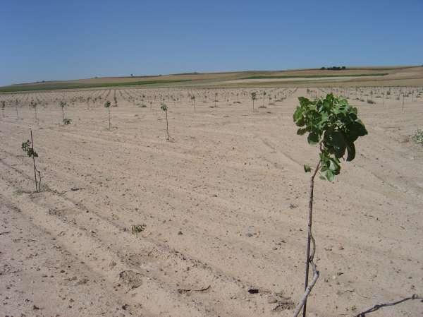 CyL acoge la primera plantación experimental ecológica de pistacho