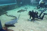 M.El Aquarium de Roquetas de Mar acoge su séptimo tiburón, 'Yuba', un nodriza de 2,5 metros