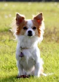 Momo, la nueva perra policía de Japón
