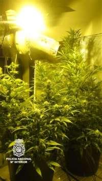 Detenido un hombre en Elche acusado de cultivar marihuana en su casa
