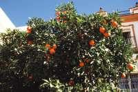 M.Estudio refleja que limonero, laurel y naranjo amargo son los árboles más eficientes en el secuestro de CO2