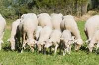 El Gobierno aragonés colabora con criadores de ganado para mejorar las razas de ovino y bovino