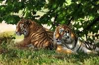 Cabárceno recibirá el próximo viernes a un grupo de siete tigres procedentes de Alicante