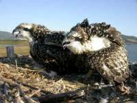 M.Fundación Migres cree que en dos años se podrá recuperar la población del águila pescadora en la península