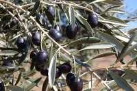 La Cooperativa La Milagrosa de Monterrubio recoge en esta campaña 6,3 millones de kilos de aceitunas