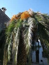 La Serranía de Ronda, única zona de la provincia que no está afectada por la plaga del picudo rojo, según Junta