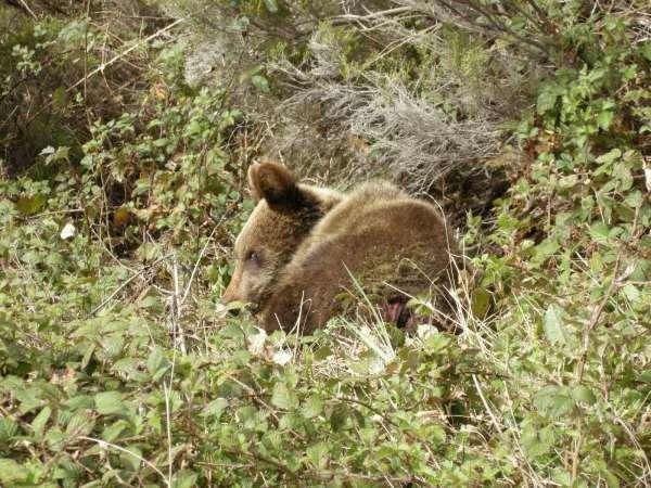 Hallada muy grave una hembra de oso pardo cantábrico en Cangas del Narcea
