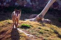 IULV-CA solicita a Medio Ambiente la situación del lobo en Andalucía tras el inicio del plan de conservación en 2003