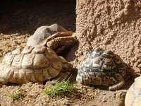 Terra Natura Murcia introduce dos nuevas tortugas leopardo y una tortuga sulcata en sus instalaciones
