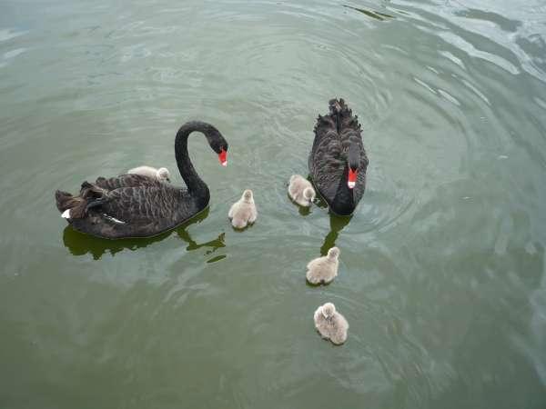 Cinco polluelos de cisne negro nacen por primera vez en el humedal del parque Terra Natura de Murcia