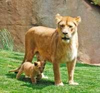 La leona nacida hace dos meses en Bioparc realiza su primera salida al exterior