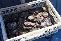 El sector de la ostra gallega conocerá este martes los avances del programa europeo para recuperar la producción