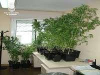 Detenido en Lugo un joven catalán al que intervinieron 20 plantas de marihuana en su vivienda
