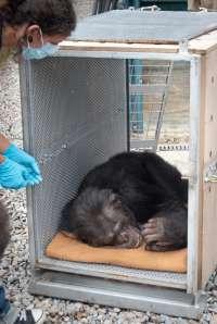 Un hombre entrega sus tres chimpancés a la Fundación Mona