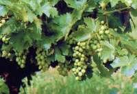 Una tesis doctoral realizada en el Serida permite identificar 27 variedades de vid en el Principado
