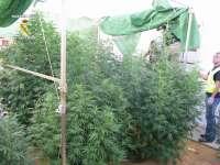 Cuatro detenidos por cultivar 90 kilos de marihuana en Alcolea del Río