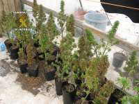 Detenido un hombre en Lanzarote con 56 plantas de marihuana en la azotea de su domicilio