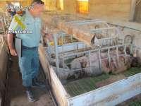 Guardia Civil inmoviliza 107 cerdos en una granja de Totana