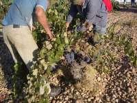 COAG-IR califica de forma negativa la vendimia a pesar del aumento en el precio de la uva