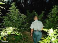 Detenidos dos jóvenes por tener escondidas entre la maleza 56 plantas de marihuana