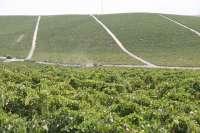 Bodegas Barbadillo completa su Vendimia 2011 con la recolección de 800.000 kilos de variedades tintas