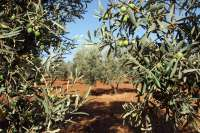 Bruselas autoriza las ayudas para el almacenamiento privado de aceite de oliva que pedía España