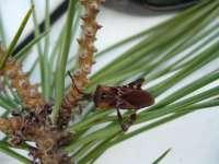La irrupción de un insecto americano amenaza la producción de piñones en España