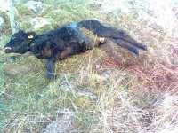Una nueva lobada culmina con una ternera muerta y otras cinco desaparecidas en Narros del Puerto (Ávila)