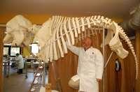 El montaje del esqueleto de elefante para el Museo Anatómico Veterinario quedará completado en unas semanas