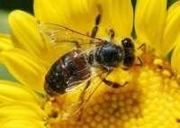 La UEx demuestra que el comportamiento inteligente de abejas puede inspirar el desarrollo de programas informáticos