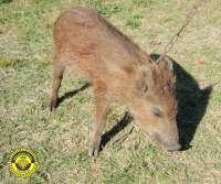 Localizada una cría de jabalí herida en la partida Almalafa