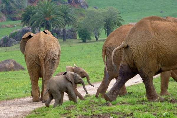 Nace en el parque de la Naturaleza de Cabárceno una nueva cría macho de elefante africano