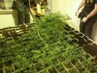 Incautan casi 2.000 plantas de cannabis en Girona y detienen a diez personas