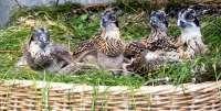 M.Las 9 parejas reproductoras de águila pescadora suponen