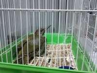 Encuentran un pájaro carpintero en un domicilio de Vigo
