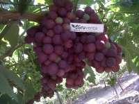 Gruventa comienza su campaña de uva de mesa murciana