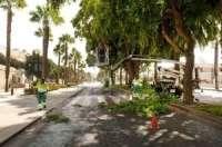 Podan en Cartagena 1.500 palmeras para evitar caída de hojas y dátiles a la vía pública