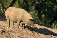 La empresa de ibéricos Montebeco ofrece cerdos como regalo de boda para combatir la crisis