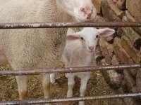 El CITA estudia a los consumidores de carne de cordero en Aragón