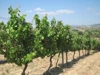 La Unión de Agricultores de Extremadura reclama ayudas directas a los productores de viñedo
