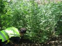 Detenidos tres hombres y desmanteladas dos plantaciones de marihuana en Arre