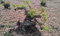 El Consejo Regulador comienza el control de la maduración de la uva en Rioja Baja