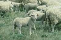 AVA-ASAJA pide seguir el modelo francés para prevenir incendios con patrullas de pastoreo