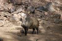 La Asociación para la Protección de los Animales pide a Cospedal que no permita la caza de jabalíes con lanzas