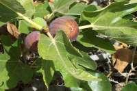 Un estudio del Gobierno de Canarias describe más de 40 variedades de higuera en el archipiélago